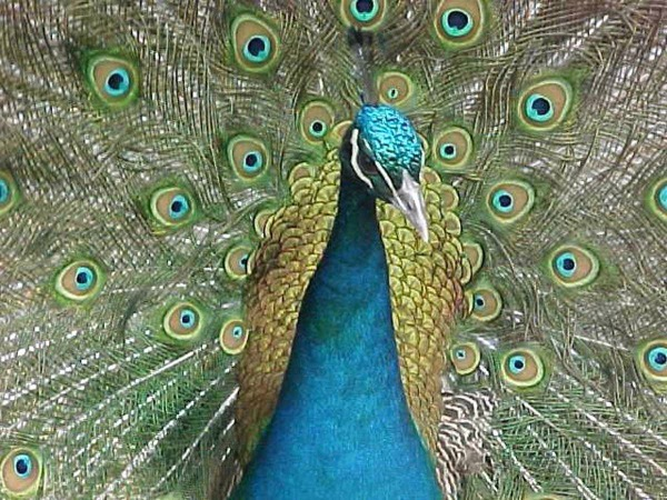 Peacock Resize